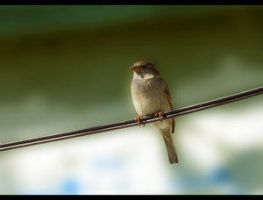 Sparrow by Nyctof0bia by BrailaCity