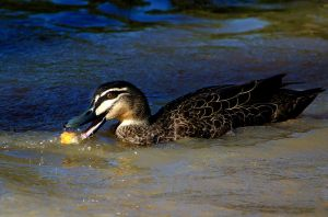 A Ducks Lunch by Mutilator-Of-Cookies