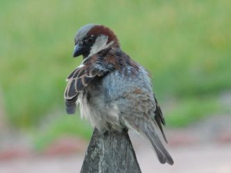 Male House Sparrow by Tracksidegorilla1