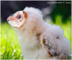 Barn Owl Chick. by andy-j-s