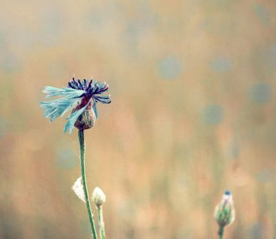 Dreamy creamy cornflower by Wanderlouve