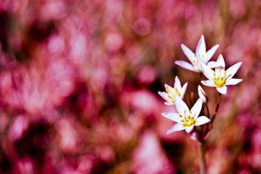 Wild Flowers by hhjr