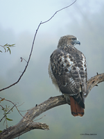 Redtailed Hawk Portrait 4 by Mogrianne