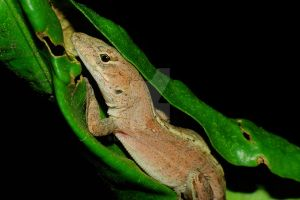 Curled Up Anole by Larah88