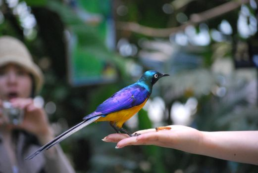 golden-breasted starling 1.11 by meihua-stock