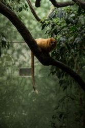 Lion tamarin by oodelaly