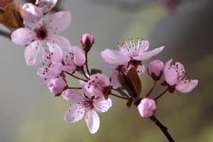 Wild Cherry Blossom by OfTheDunes