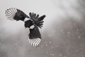 Flying in the snow 2 by phalalcrocorax