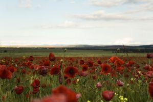 Entre Amapolas by SuperStar-Stock