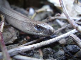 Slow Worm by NeroTheViper