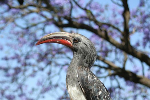 red-billed hornbill by style-is-art