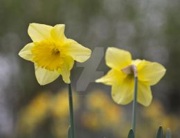 Two Daffodils by photographybypixie