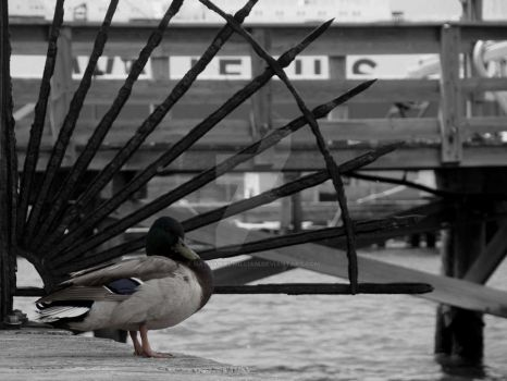 Duck by the Dock by nathanielwilliam