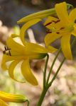 Lemon Lilly in Idyllwild, CA by viewsionone