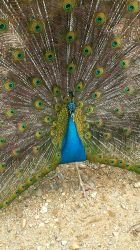 Peacock by wagn18