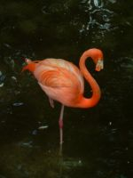Flamingo by evilpokejuggalette