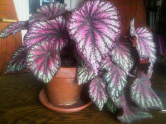 Begonia Rex by moonhare77