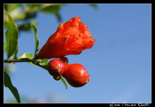 Pomegranate flower by SweetSary