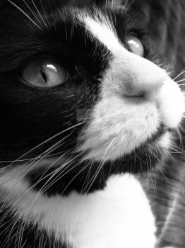 Black and white cat portrait by JacobMcClure