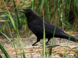 Crow In Beach Grass by wolfwings1