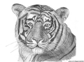 Tiger portrait by wildtoele