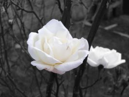 White roses by LuciRamms