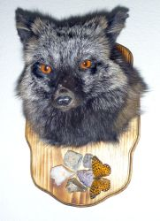 Cross Fox Shoulder Mount FOR SALE by Tricksters-Taxidermy