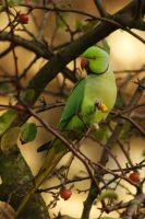 Integrated exotic bird -Rose-ringed Parakeet by steppeland