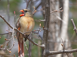 Lady Cardinal Sings by Mogrianne