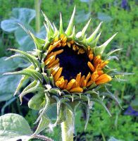 A Late Blossoming Sunflower by JocelyneR