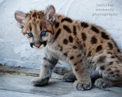 Geronimo the Cougar Cub 1 by filemanager