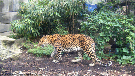 North chinese leopard by Cansounofargentina