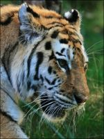 Tiger Whiskers by mydigitalmind