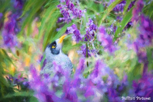 Honeyeater and Bush Sage by tuftedpuffin