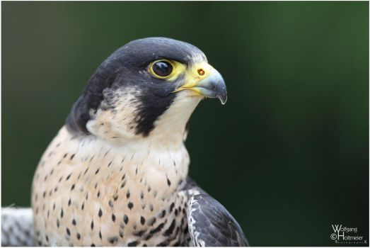 2011-119 Peregrine Falcon by W0LLE