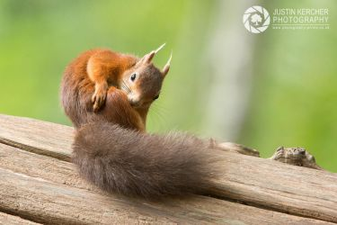 Red Squirel Itching by Neutron2K