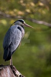 grey heron by oetzy