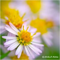 Wild Asters of Autumn by CecilyAndreuArtwork