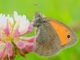 Coenonympha pamphilus by starykocur