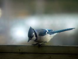 Blue jay 2 by LucieG-Stock