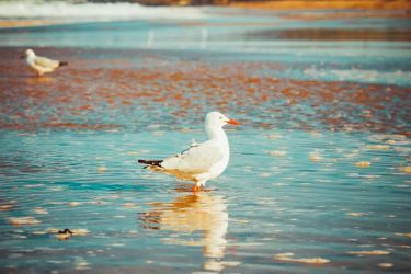 Corrimal Beach Seagull by apparate