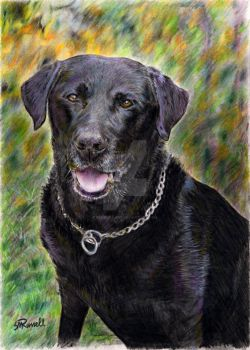 Black Labrador by SRussellart