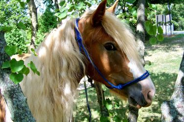 Angel Gypsy Horse Haflinger by dillwithit