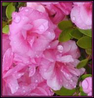 Begonias After The Rain by DWALKER1047