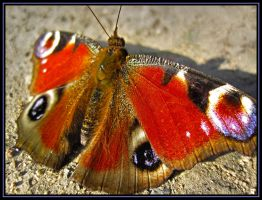 Peacock butterfly by M-e-t-a-t-r-o-n