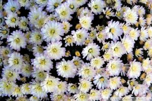 Purple and White Mums by charliemarlowe