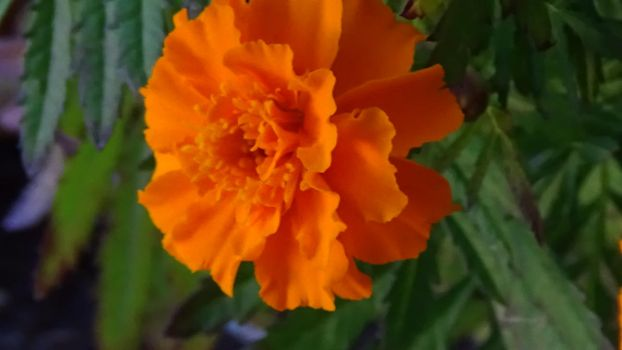 Marigold by gracexxmiracles