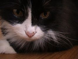 Blak and White Fluffy Cat -2 by Shangova