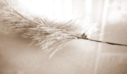 Feather Wallpaper by likescarecrows