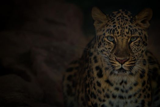 Leopard by LifeCapturedPhoto